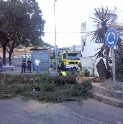 Operarios talan el cedro de la Plaza de la Estrella